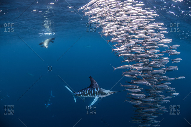 Striped marlin hunting mackerel and sardines, joined by sea lion