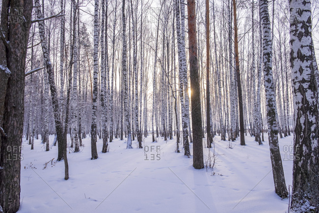 Landscape of snow covered forest