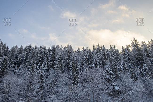 Snow covered hill forest tree tops