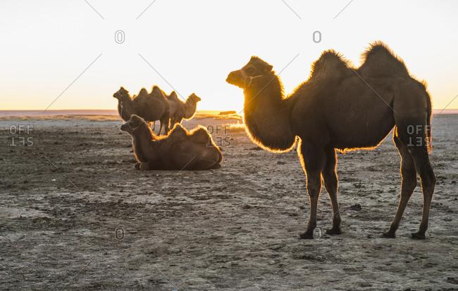 Bactrian camels resting, Gobi desert, Mongolia