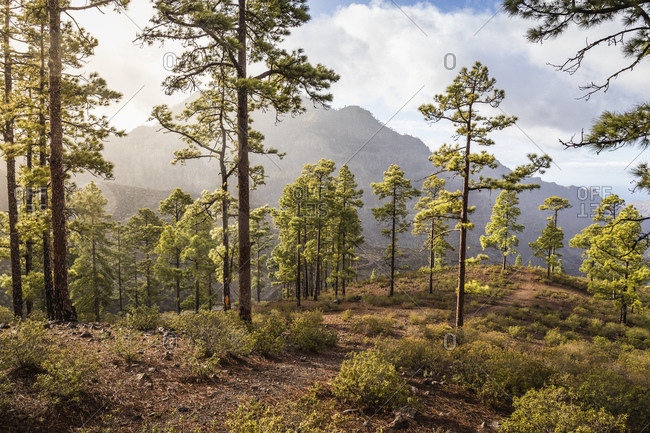 Forest landscape with mist, Mogen, Canary Islands, Spain