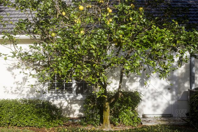 Lemon tree in the Pelican Beach area of Naples, Florida.