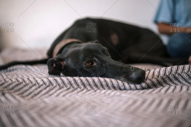 greyhound dog lying in bed resting