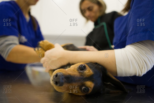Veterinarian and nurses preparing dog for treatment