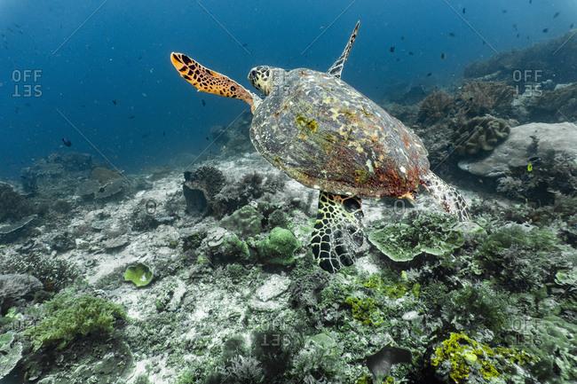 Underwater view of Hawksbill sea turtle, Raja Ampat, Sorong, Nusa Tenggara Barat, Indonesia