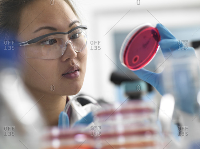 Scientist examining microbiological cultures in petri dishes in laboratory