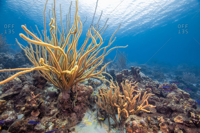 Seascape of variety of soft coral, Curacao