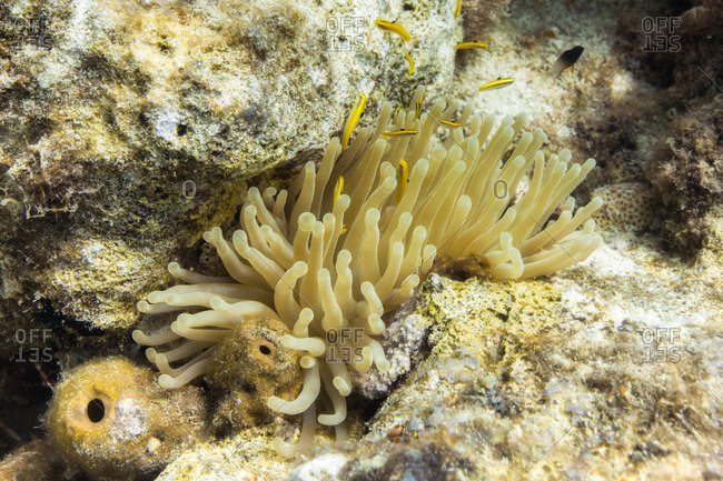 Sea anemone, Curacao - Offset Collection