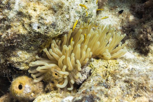 Sea anemone, Curacao