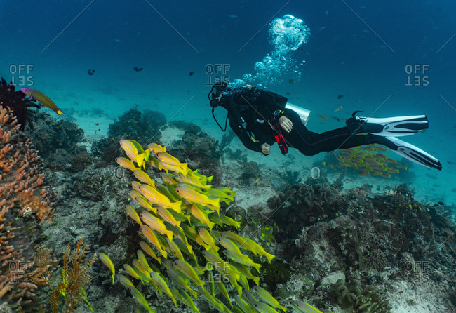 Underwater view of and a school of tropical yellow fish in Raja Ampat, Sorong, Nusa Tenggara Barat, Indonesia