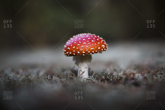 Young Fly Amanita in the woods near in Germany.