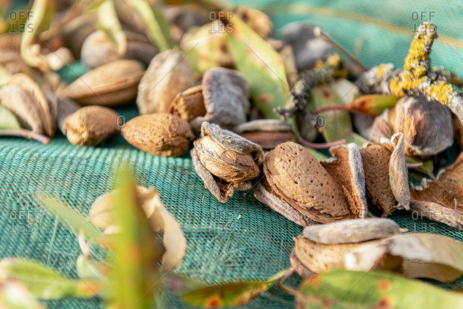 Almonds waiting to be collected from a net.