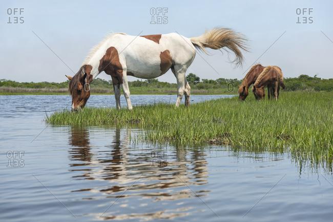 Wild Ponies on Maryland Coast Line from Kayak