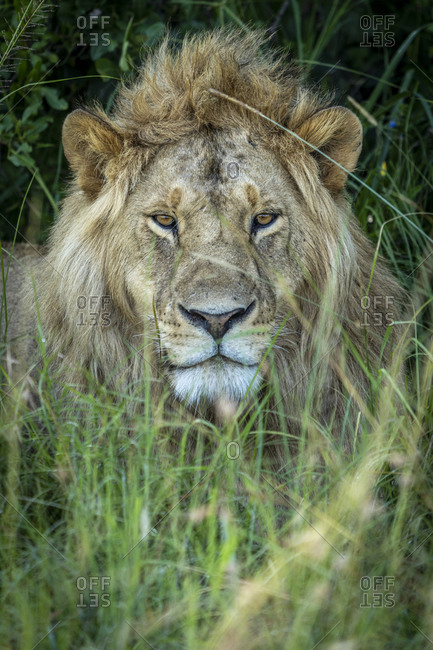 A young male lion is lying in the grass in the shade