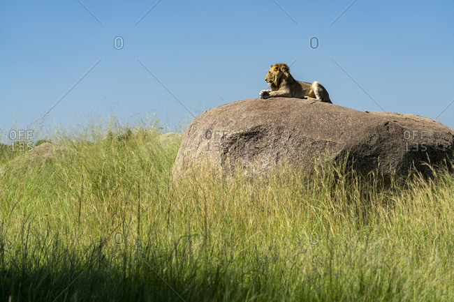 A lion is resting in the sun on a rock