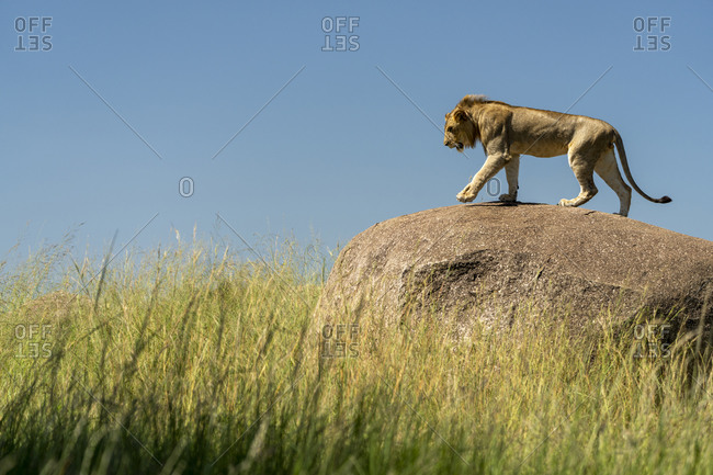 A young male lion walks on a rock surrounded by tall grass