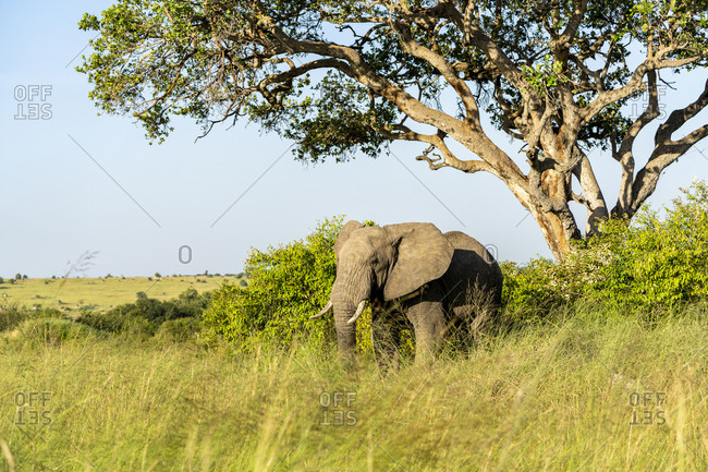 An elephant stands peacefully under a tree, bathed in morning light
