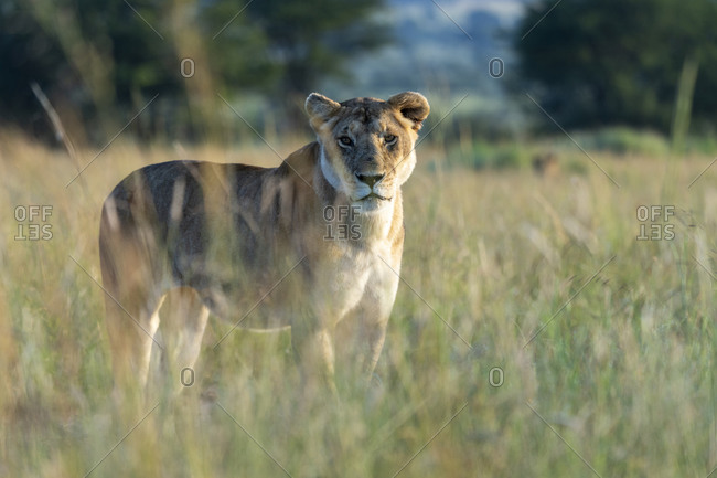 A lioness stands in the tall grass and looks at us