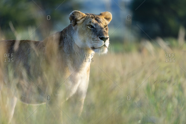 A lioness stands in the tall grass in the early morning