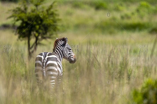 A zebra stands in the tall grass and looks in our direction