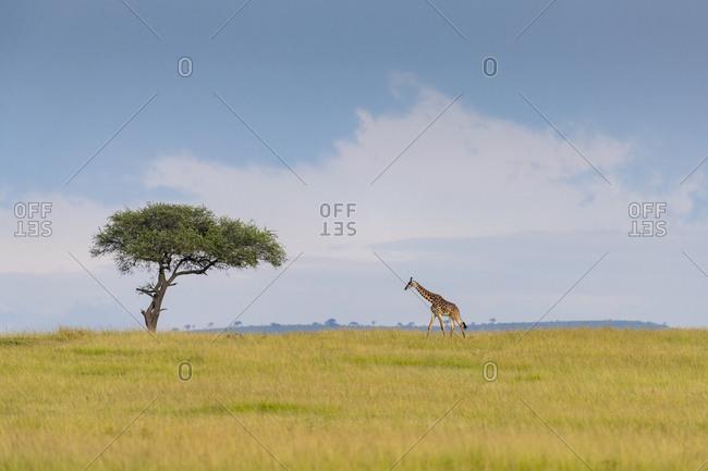A giraffe walks in the savannah, in the background a cloudy sky