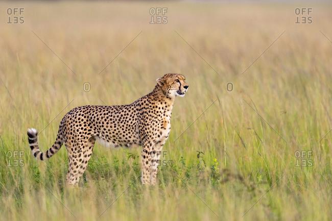 A motionless cheetah scans the horizon