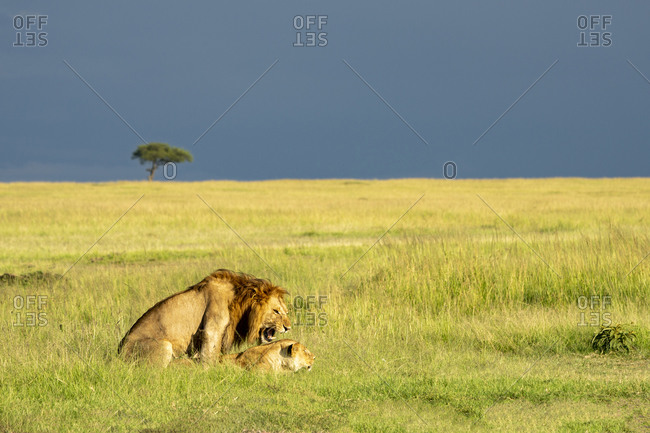 A lion couple breed in the savannah