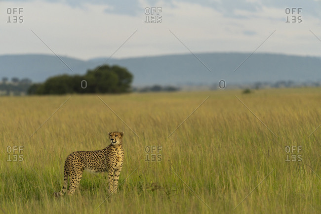 A motionless cheetah scans the horizon