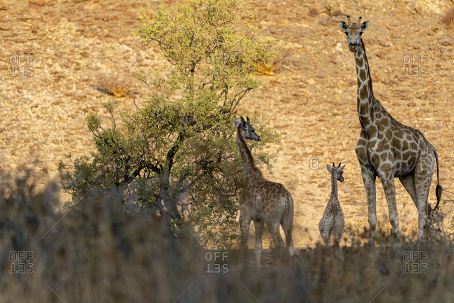 Three giraffes stand in a canyon at sunset in the vegetation