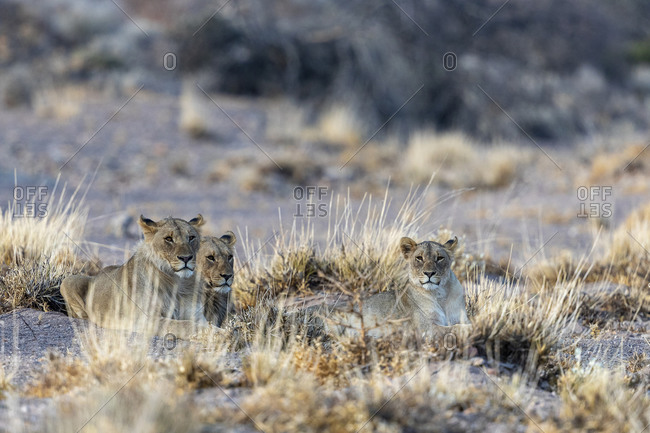 Three young desert lions are lying in the sand at sunset