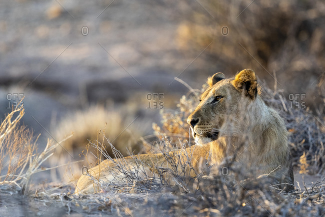 A young male desert lions is lying in the sand at sunset