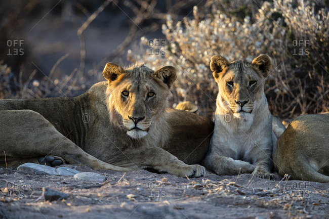 A group of young desert lions is lying in the sand at sunset