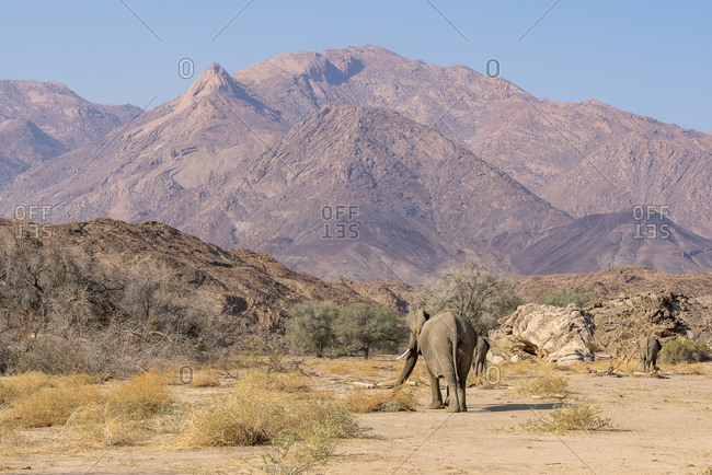A group of elephants walk in the bed of a river in search of food