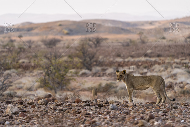 A young desert lion is standing and looking in our direction