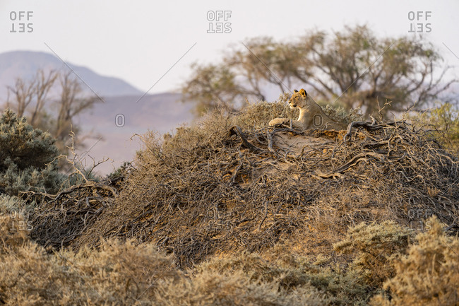 A young desert lion stands on top of a mound