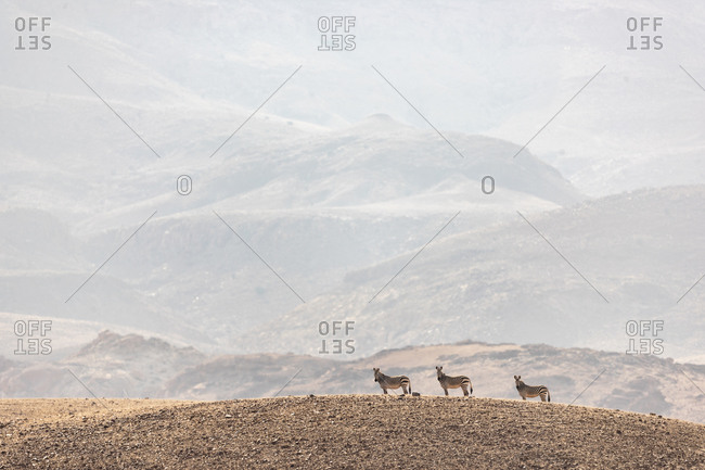 Three zebras stand motionless on top of a hill