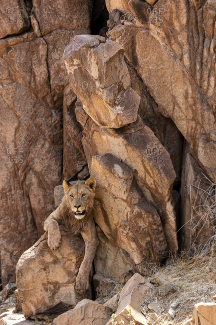 A desert lion rests in the shade of a cliff