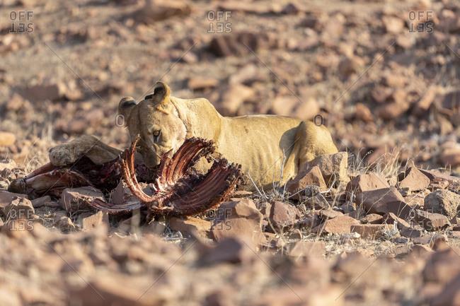 A young desert lion eats the remains of a zebra carcass