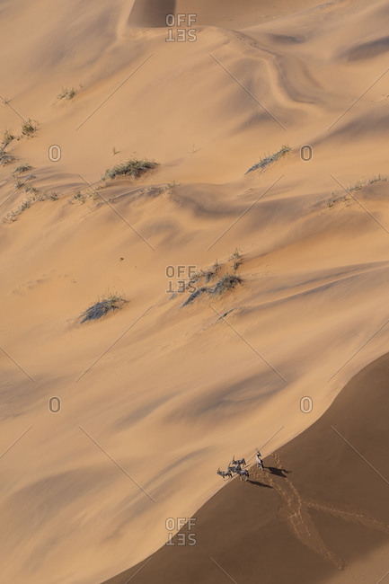 Group of oryx on a ridge of a sand dune