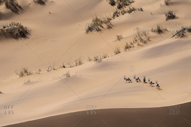 A group of oryx runs in the sand dunes of the Namibian desert