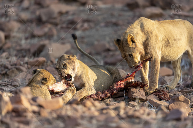 A group of lion fights for the carcass of a zebra