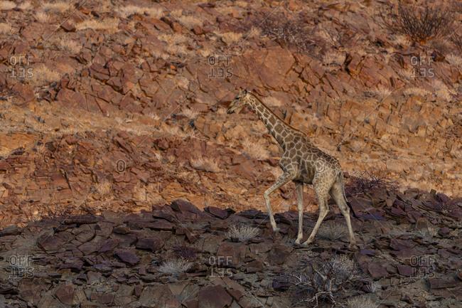 A giraffe on a rocky slope at sunset