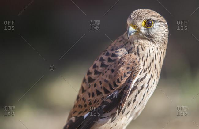 Lesser Kestrel female closeup or falco naumanni