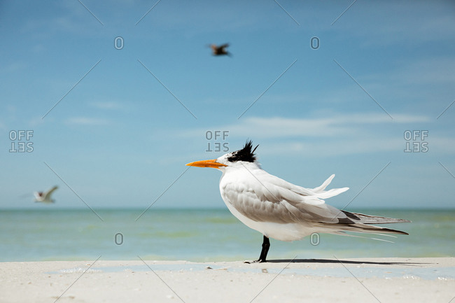 Single royal tern with wind ruffled feathers on Florida beach