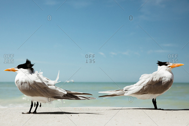 Two royal terns face away from each other on a windy Florida beach
