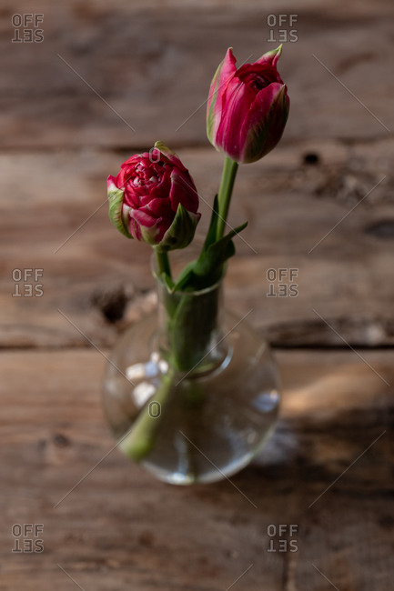 Two pink tulips in a clear glass vase