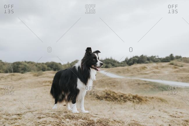 Netherlands- Schiermonnikoog- Border Collie in dune landscape looking around