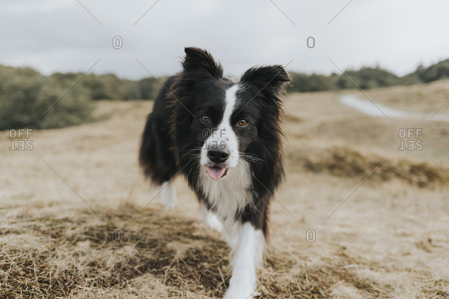 Netherlands- Schiermonnikoog- portrait of Border Collie in dune landscape