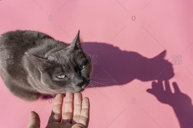 Hand of woman petting Russian Blue cat