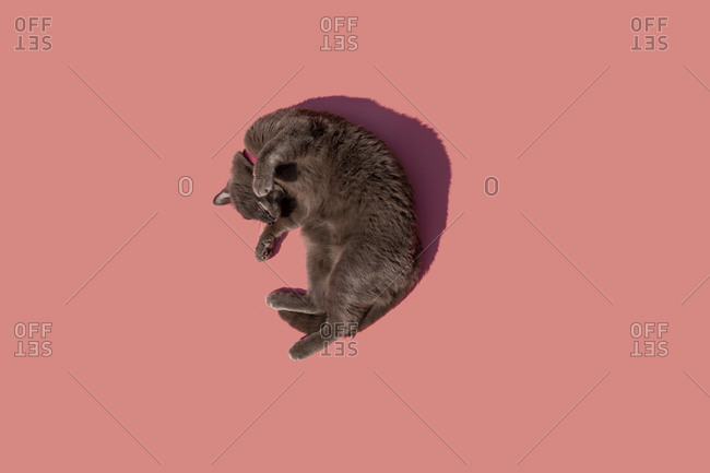 Studio shot of Russian Blue cat lying against pink background